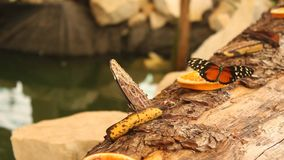Two butterflies on a banana and orange. Slice moving wings stock video footage