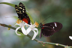Two Butterflies. Two Black Butterflies on a White Flower Stock Photo