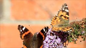 Two butterflies on blossoms. Two butterflies on purple blossoms stock footage