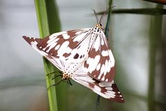 Butterfly mating on the leaf royalty free stock photos