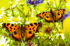 Two butterflies on camomiles Stock Image