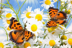 Two butterflies on camomiles. Two charming butterflies among  flowers Royalty Free Stock Image