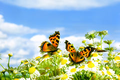 Two butterflies on camomiles. Two charming butterflies among  flowers Stock Photo