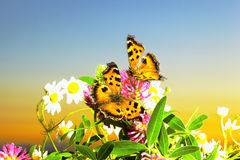 Two butterflies on camomiles Stock Photos