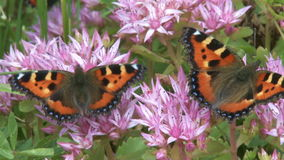 Two butterflies. Closeup of two butterflies on a pink flower stock video