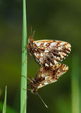 Two butterflies coupling Royalty Free Stock Image
