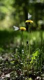 Two Butterflies On Dandelions. Two tired white butterflies have sat down to have a rest on two yellow dandelions Royalty Free Stock Photography