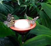Two Butterflies drinking stock photos