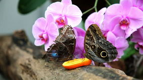 Two butterflies eating an orange stock footage