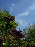 Butterflies enjoying the Summer Day royalty free stock photo