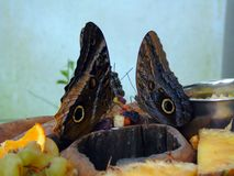 Two Butterflies Feeding on Fruit stock images
