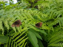 Two butterflies on fern. Photo of two butterflies on fern. Shot on Tara mountain Stock Photo
