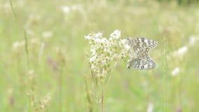 Two butterflies on a field stock footage