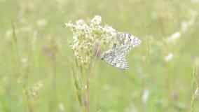 Two butterflies on a field stock video footage