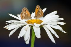 Two Butterflies on a Flower. Two Meadow Brown butterflies sitting on a large daisy stock photography