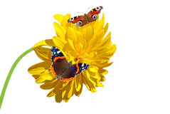 Two Butterflies on a flower Stock Photo