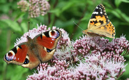 Two Butterflies on Flower Stock Photography