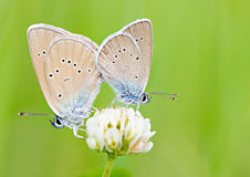 Two butterflies on flower macro Royalty Free Stock Photography