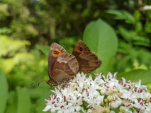 Two butterflies on a flower. One hiding behind the other Royalty Free Stock Image