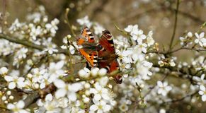Two butterflies on flowers of bird cherry Royalty Free Stock Images