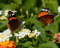 The butterflies. Two butterflies flying together in the garden near flowers royalty free stock photo