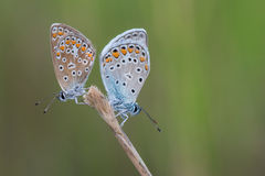 Two butterflies on the green background. Stock Photo