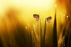 Two butterflies on the leaves. Two butterflies in the leaves in the morning with dew two butterflies in the leaves in the morning with dew stock images