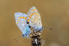 Two butterflies making love on the flowers Stock Photo