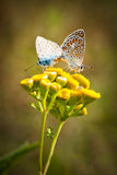 Two butterflies mating. Two beautiful and colorful Lycaena Phlaeas butterflies in mating positions on yellow flowers Stock Photo
