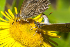 Two butterflies mating on the flowers Royalty Free Stock Image
