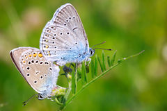 Two butterflies Stock Photo