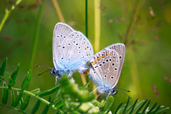 Two butterflies Royalty Free Stock Photography