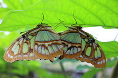 Two Butterflies Mating on a leaf Stock Photo