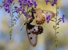 Two butterflies mating. On a purple plant Stock Image