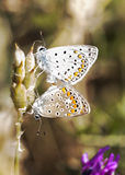 Two butterflies in the mating season Royalty Free Stock Photography