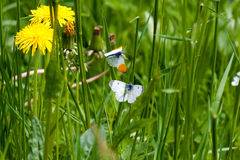 Butterflies. Two butterflies in a meadow, closeup image Royalty Free Stock Images