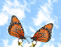 Two butterflies. Two Monarch butterflies against a blue sky royalty free stock photos