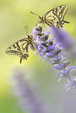Two butterflies in nature on flower Stock Photos