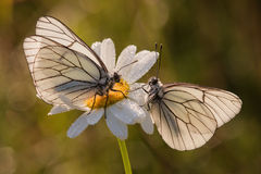 Two Butterflies On A Marguerite Blossom Royalty Free Stock Images