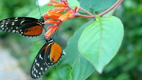 Two butterflies on orange flowers. stock video footage