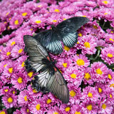 Two butterflies on pink chrysantemums Royalty Free Stock Photography
