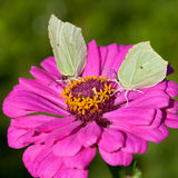 Two butterflies on pink flower close up Stock Photography