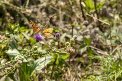 Two butterflies playing on the flowers royalty free stock photography