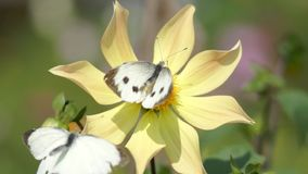 Two butterflies polinating a flower and fighting stock video
