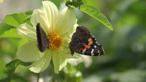 Two butterflies polinating a flower. In the garden stock video