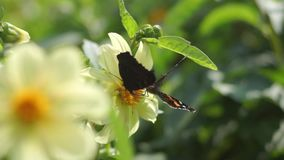 Two butterflies polinating a flower. In the garden stock footage