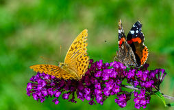 Two butterflies on purple flower. Two colorful butterflies on purple flower, close-up Royalty Free Stock Photos