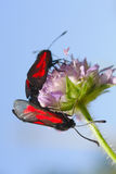 Two butterflies sit on a flower Royalty Free Stock Photography