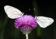 Two butterflies sit on a flower Royalty Free Stock Photo