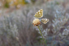 Two butterflies sitting on the last autumnal wild flower Royalty Free Stock Image